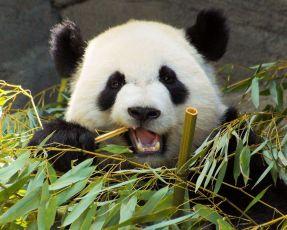 bambù mangiato da panda